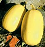 Squash Spaghetti D679 (Yellow) 25 Seeds by David's Garden Seeds