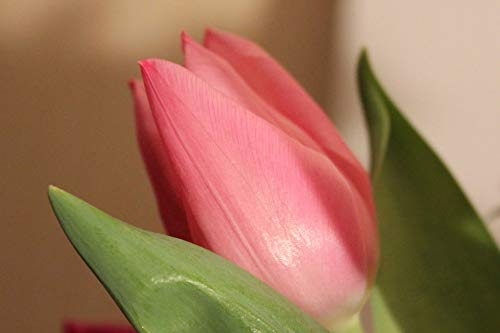 Home Comforts Canvas Print Salmon Spring Tulip Vivid Imagery Stretched Canvas 32 x ()