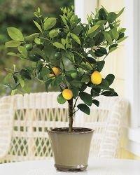 - 3-4 Year Old Meyer Lemon Tree in Grower's Pot