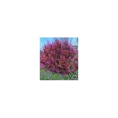 Cercis occidentalis WESTERN REDBUD TREE Seeds! : Garden & Outdoor