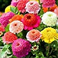Zinnia- Scabiosa Flowered Mix- 100 Seeds
