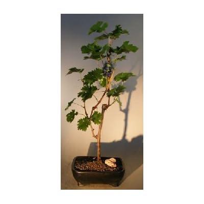 Bonsai Boy's Grapevine Bonsai Tree cabernet sauvignon : Bonsai Plants : Grocery & Gourmet Food