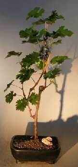 Bonsai Boy's Grapevine Bonsai Tree cabernet sauvignon (Wine Grape Bonsai Tree)