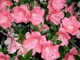 (3 Gallon) 'Gumpo Pink' AZALEA, Light Pink Single Booms, Evergreen Shrub, Cold Hardy