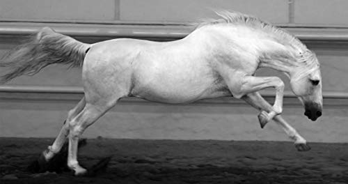 Spanish Stallion - Beautiful Black and White Photography Art of Horse. 17X32 Art Print with archival Ink in Metallic Paper. Limited Edition