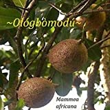 Cutdek ~African Apple~ Mammea Africana Aphrodisiacal Fruit Tree Live Potd 8-12+in Plant