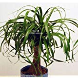 (Beaucarnea Recurvata Ponytail Palm Seeds Succulent Houseplant Rock Garden Bonsai)