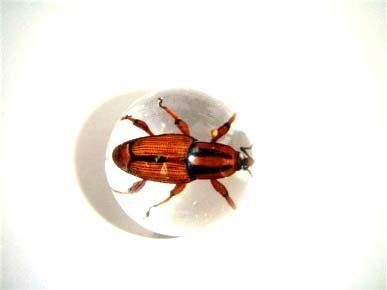 1.9cm Lucite Embedment Marble w Snout Beetle Insect - Bug Inside B00467ZWEM