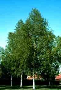 Betula pendula: European White Birch Seeds