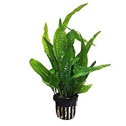 Microsorum Pteropus Hardy Leaf Asian Java Fern Potted Live Water Aquatic Aquarium Plants for Freshwater Fish Tank by Exotic Plant P298Buy 2 Get 1 FREE ()