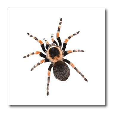 Xander holiday quotes - tarantula picture of giant hairy tarantula on white background - 6x6 Iron on Heat Transfer for White Material (ht_201874_2)
