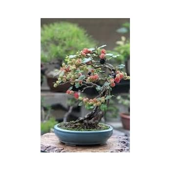Bonsai Black Mulberry Tree Large Thick Trunk Fruit Bearing Indoor Bonsai Tree Cutting No Roots Detailed Easy Instructions Included Bonsai