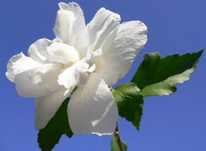 Nelesa gardening white double rose of sharon hibiscus syriacus nelesa gardening white double rose of sharon hibiscus syriacus flower tree bu mightylinksfo