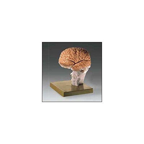 (Brain Demonstration Model -BS25)
