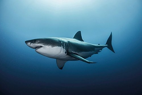 Pyramid America Great White Shark Swimming Photo Art Print P
