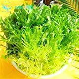 100pcs Chinese Vegetable Seed Cichorium Endivia Plants Enhance Human Immunity Endive Seeds Vegetables 2016 Hot Sale Fresh Bonsai