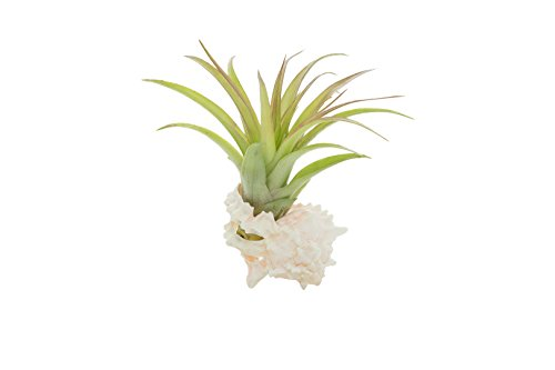 Murex Shell with Airplant | 1 Pink Murex Sea Shell and Brachycaulos | Tillandsia Air Plant Combo | Gift Set | For Home Decor and Display | Nautical Crush Trading TM