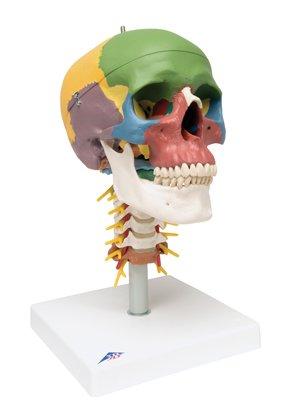 dactic Skull, 4-Part, On Cervical Spine - 1 Each / Each - 12-4552 (Skull Spine)