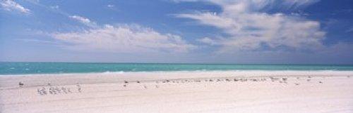 Flock of seagulls on the beach Lido Beach St Armands Key Sarasota Bay Florida USA Poster Print (36 x - Armand Florida St