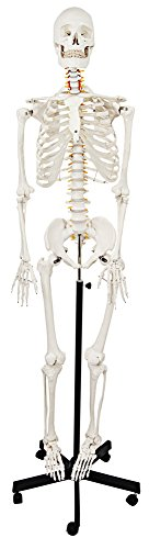 Axis Scientific Life-Size Male Human Skeleton Model with Metal Stand, 5' 6