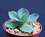 "Agave potatorum, Exotic Rare Garden Succulent air Plant Cactus Bonsai 4"" Pot"
