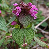 SVI lamium purpureum- salvia Relation-red Dead Nettle- 15 Fresh Seeds