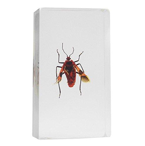 Japanese Shield Bug