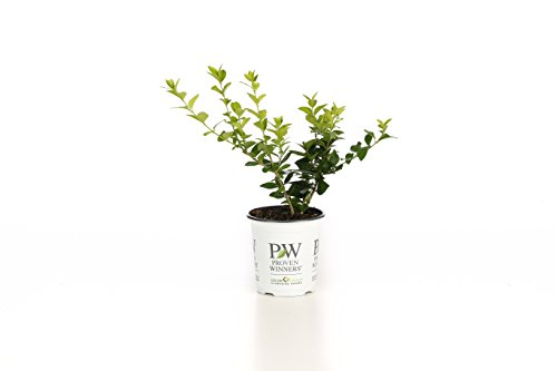 Golden Ticket Privet (Ligustrum) Live Shrub, White Flowers and Yellow Foliage, 4.5 in. Quart by Proven Winners