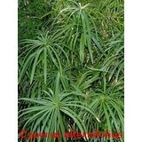 Umbrella Plant - 50 UMBRELLA PLANT CYPERUS Alternifolius Papyrus Grass Umbrella Palm Flower Seeds