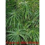 - 50 UMBRELLA PLANT CYPERUS Alternifolius Papyrus Grass Umbrella Palm Flower Seeds