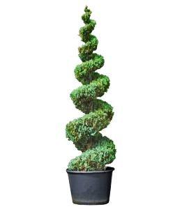 Amazon com : Blue Point Juniper Spiral Topiary, 3-4 Foot : Garden