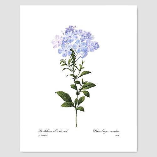 (Blue Flower Art (Plumbago Print, Botanical Wall Decor) Pierre Redoute - Unframed)