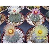 Astrophytum asterias super kabuto MIX rare variety cacti cactus seed 100 SEEDS