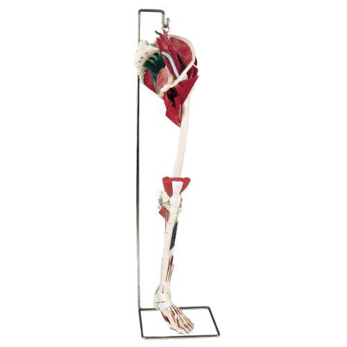 Laerdal SML-1500 Deluxe Leg on Stand Model