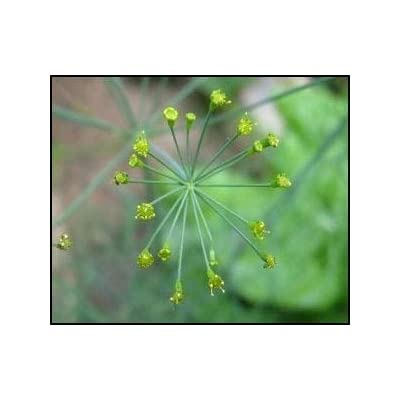 HOT - Dill - Bouquet Herb - Heirloom - Organic - 100 Seeds - Wonderful Aroma : Garden & Outdoor