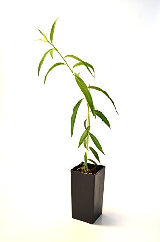 TreesAgain Potted Weeping Willow Tree - Salix babylonica - 10 to 15+ inches (See State Restrictions)