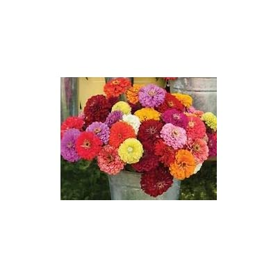 Zinnia Seeds Benary's Giant Mix Flower Seeds 50 Zinnia Seeds : Garden & Outdoor