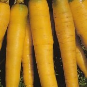 200+ Carrot Seeds- Jaune du Doubs- French Heirloom Variety!
