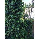 Betel Leaf (Paan) (50)