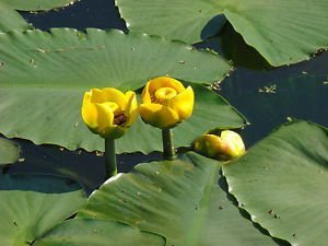 Amazon 5 seeds nuphar lutea seeds yellow water lily seeds 5 seeds nuphar lutea seeds yellow water lily seeds aquatic plant mightylinksfo