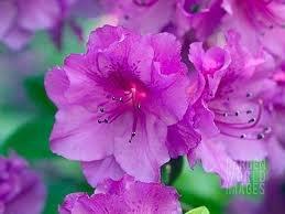 Hybrid Azalea - (1 Gallon) PURPLE Formosa Hybrid Azalea, Lots of Pink Purple Flowers, Big Evergreen Shrub, Gorgeous In Any Landscape.