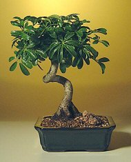 Amazon Com Hawaiian Umbrella Bonsai Tree With Coiled Trunk Bonsai Plants Grocery Gourmet Food