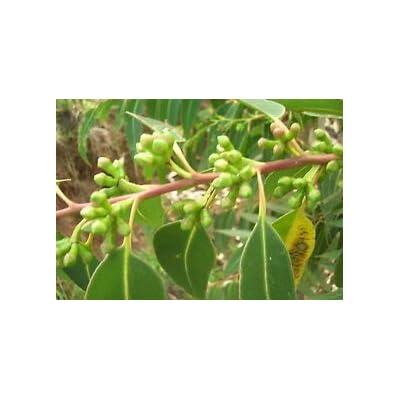 Cheap Fresh Tree Seeds Eucalyptus Nicholii Unique Get 10 Seeds Easy Grow #GRG01YN : Garden & Outdoor