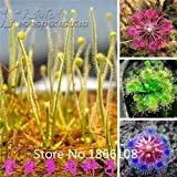 home & garden 100 Mix Carnivore Carnivorous Pack Species Seeds - Venus Flytrap & Sundews Bulk Seed Pack Verieties Bonsai Flowe