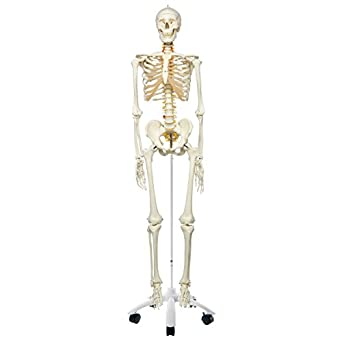 """3B Scientific A15 Plastic Flexible Human Skeleton Model """"Fred"""", Flexible, Feet and Hand Wire Mounted, 66.9"""" Height"""