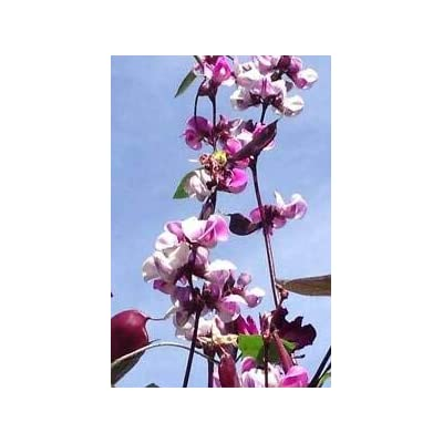 10 Hyacinth Bean Lablab Purpureus Blue Purple White Flower Ornamental Vine Seeds #SFB : Garden & Outdoor