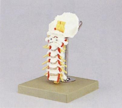 頚椎模型(ドイツ ソムソ社製)   B009RKG86E