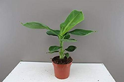 Buy Dwarf Fruit Trees - Banana Plant Fruit Tree Musa Dwarf Cavendish Live 3