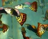 Guppies Guppy Fancy Fantail Tropical Fish 12 Fish