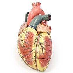 Jumbo Heart Model (Jumbo Heart Model)